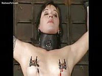 Collared and bound cougar get shock treatment