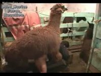 Amateur zoo sex scene features a housewife fucking a llama
