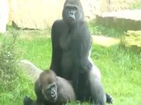 Amateur photographer captures a zoo sex adventure between two Silver Back Gorillas