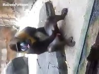Visitors at the local zoo laugh as they witness a baboon jerking off