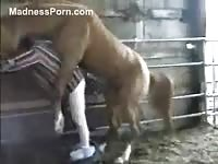 Aggressive horse mounting and plowing a ranch hand from behind