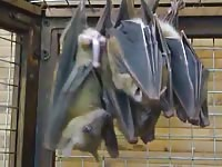 Bizarre zoo sex fetish movie features two extremely large black bats cozying up before bed