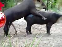 Amateur zoo fetish vid captured on a beautiful day of two huge beasts fucking on private land