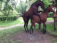 Enormous brown stallion mounts its smaller partner from the rear and screws her nicely