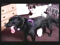 Spirited animal fucking movie featuring a amateur cougar drilled the way she likes by huge dog